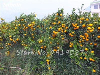 20 Pcs Chine Escalade Graines d'Orange Aucune ogm Bonsaï Kumquat Tangerine Citrus Potted fruit délicieux Faire du jus d'orange 1
