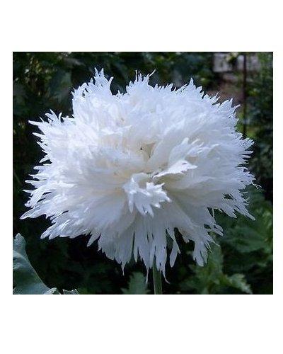 Weißer Mohn - 100 Samen