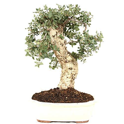 bonsai quercia da sughero, quercus suber, 21 anni, altezza 43 cm