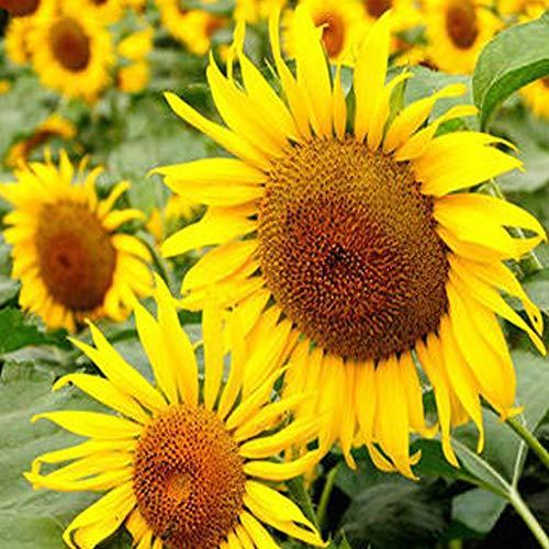 QHYDZ Seeds - Semillas Girasol Gigante Raras Helianthus Perennes Flor Semillas para Aves y Abejas, Plantas Ornamentales para Jardín Patio (30pcs)