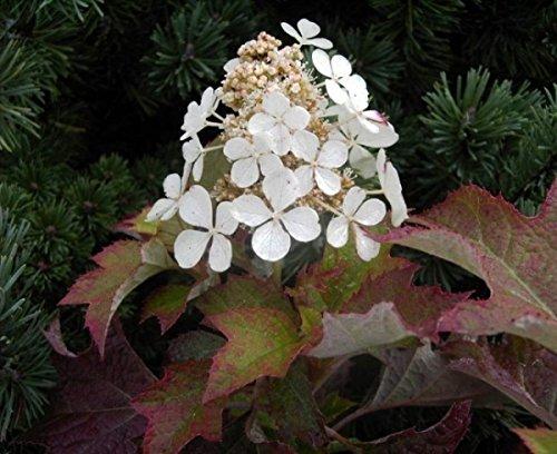 Eichenblatthortensie Hayko`s Zwerg - Hydrangea quercifolia Hayko`s Zwerg - Rispenhortensie