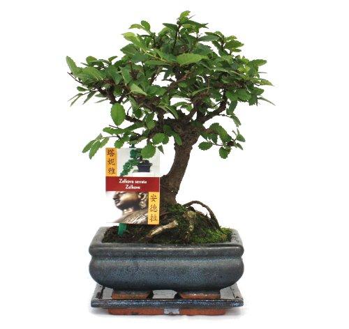 Bonsai inkl. Untersetzer
