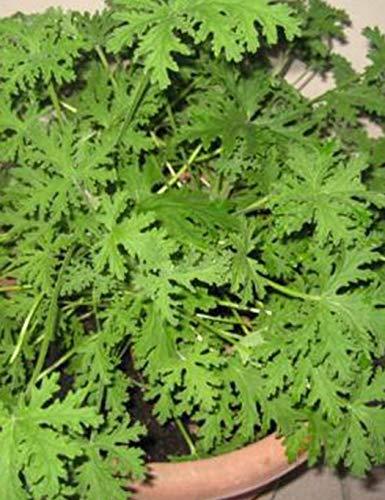 Sisaki Graines de Herbe Anti-Moustiques Géranium Parfum de jardin Géranium Citron graines de géranium pour Maison Jardin Bonsaï Graines de Plantes