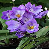 #10: Kraft seeds Freesia 15 Flower Bulbs (Purple)