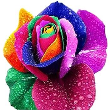 100 samen seltene holland regenbogen rosen samen blumen liebhaber bunte hausgarten pflanzen. Black Bedroom Furniture Sets. Home Design Ideas