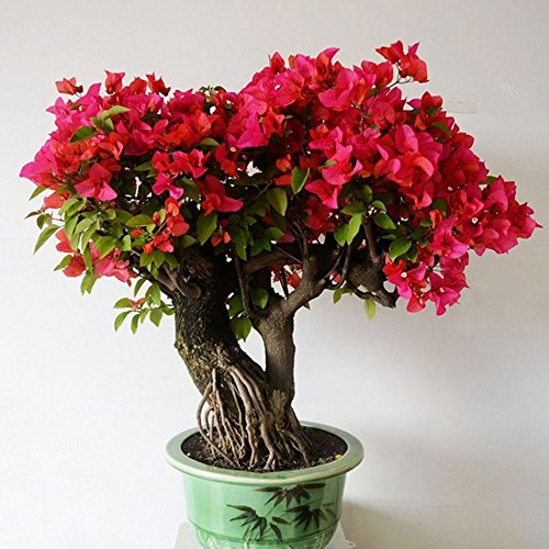 pittospwer 50pcs semi di piante ornamentali bougainvillea rosso home garden yard bonsai decor