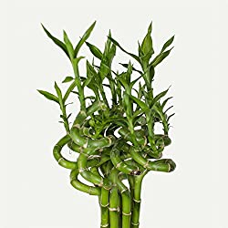 5 piezas Lucky Bambú sanderiana dracaena bambú de la suerte 50cm Largo