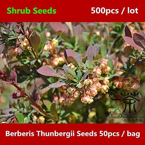 Shopmeeko ^^ Landschaftsgestaltung Berberis Thunbergii ^^^^ 500pcs, japanischer Berberitzenstrauch ^^^^, weit verbreiteter Thunberg Berberitze ^^^^