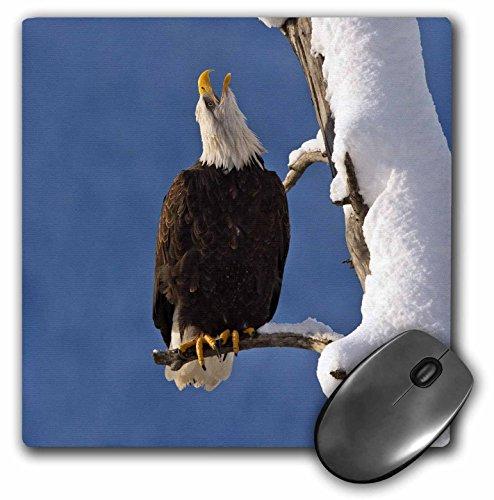 Danita Delimont - Eagles - USA, Alaska, Chilkat Bald Eagle Preserve - US02 BJY0003 - Jaynes Gallery - MousePad (mp_141740_1)