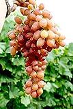 Vitis vinifera Kishmish Luchistyi