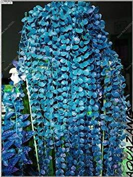 100 pcs / sac exotiques Graines rares Couleur extérieure hybride Escalade Blooming Bonsai Potted Plant for Lvy Décor de jardin 4