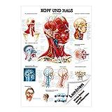 Kopf und Hals Lehrtafel Anatomie 100x70 cm medizinische Lehrmittel