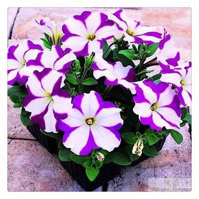 Petuniensamen, Qbisolo 100 Stück Hängende Petunien-samen Petunia Seeds Hausgarten Pflanze Blumentopf Dekor Blumensamen - Petunia Samen