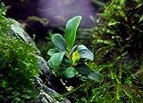 Bucephalandra spec. ´Brownie´ im Topf...