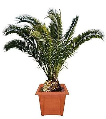 Phoenix Canariensis 110-130 cm. Höhe Wunderschöne Hauspalme Büropalme Zimmerpalme . Ideal für Junggesellen von Peciborsc Pflanzenraritäten auf Du und dein Garten