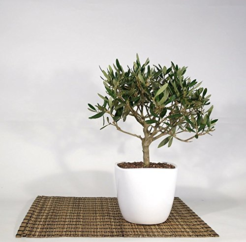 Bonsai di Olivo in vaso