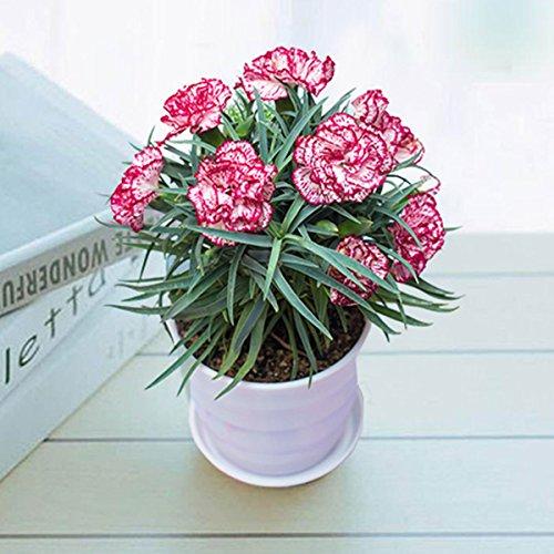 Gugutogo fai da te una borsa seme di garofano fiore perenne alto tasso di sopravvivenza giardino di casa semi di piante in vaso semi di fiori rari (colore: marrone)