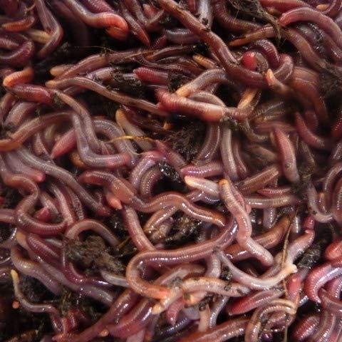 Kompostwürmer 250g, Gartenwürmer, Regenwürmer in 500g transportsubstrat