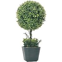 Verdemax 569546cm Ligustro pianta in vaso di ceramica
