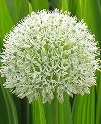 """Allium """" MOUNT EVEREST """" von Mosselman bei Du und dein Garten"""