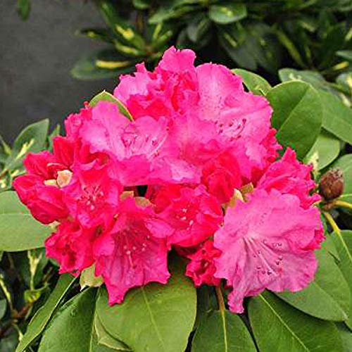 Rhododendron 'Germania' 40-50 cm Pflanzcontainer