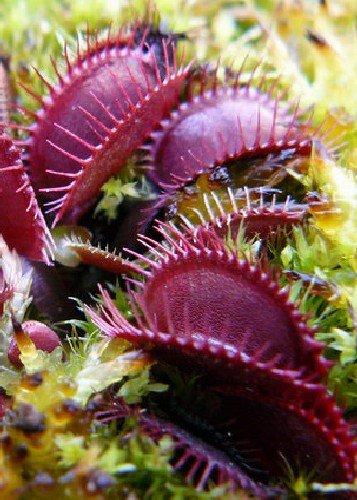 tropica-venere-acchiappamosche-claytons-volcanic-red-dionaea-muscipula-10-semi-carnivori-incluso-sub