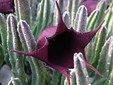 Stapelia leendertziae - Seestern Kaktus - 3 Samen
