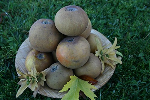 dwarf-patio-apple-tree-egremont-russet-fruit-tree-for-pots-or-small-gardens