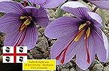25 Bulbi di Zafferano Sardo di San Gavino - N°1 al mondo (Crocus sativus) circonferenza 9/10 cm (25)