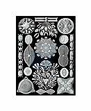 84th Plate Ernst Haeckel Kunstformen Der Natur Diatoms Poster Print
