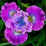 ShopMeeko Seeds:Mixed Iris Bonsai Jardin Dwarf Flower Rare Orchid Bonsai For Home Garden Planting Bonsai Flowers Semillas 100 Pcs/Bag : Dark Gray