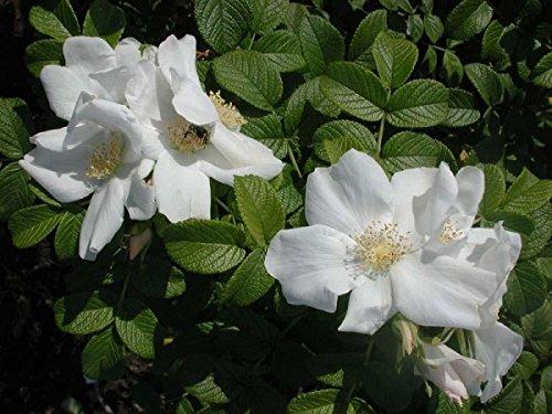 Weiße Apfelrose im Topf/Container Größe 60 bis 80 cm