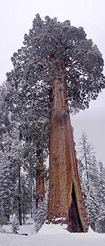 50 Samen Riesen-Mammutbaum -Sequoiadendron giganteum- ★ ★ ★ DER GIGANT UNTER DEN BÄUMEN ★ ★ ★