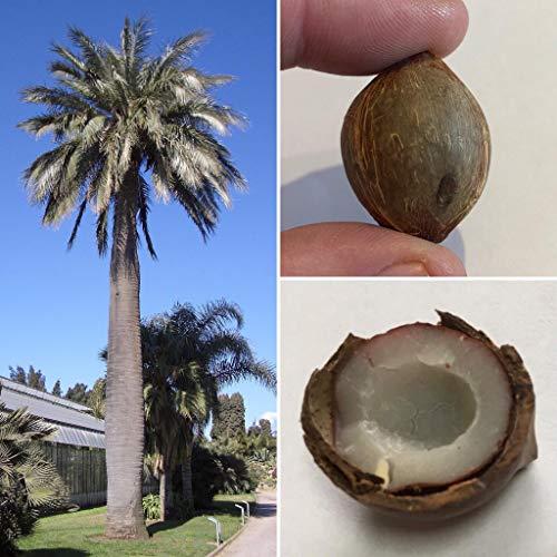 Mini-Kokosnuss Palme 2 Samen, Winterhart bis -15 Grad -Rarität-