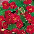 Kapuzinerkresse, rankend reinrot von TOM-GARTEN bei Du und dein Garten