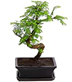 Dehner Urweltmammutbaum im Keramiktopf, weiche grüne Nadeln, ca. 30-50 cm, Bonsai