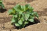 Perilla, grün (Shiso) Perilla frutescens v. 20 Samen