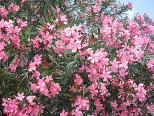 pianta di oleandro a cespuglionerium oleander in vaso Ø 20 altezza 80-100 cm