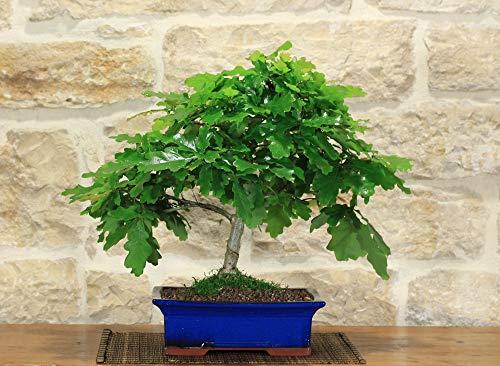 bonsai di quercia roverella (10)