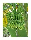 Chinesische Yunnan-Banane 10 Samen -Frostharte Banane- Musa yunnanensis