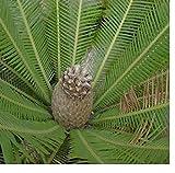 5x Dioon edule Mexikanischer Palmfarn Samen GartenPflanze Frisch Neu B1288