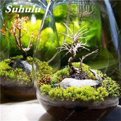 Vert mousse Graines 120 Pcs exotiques rares Graines Bonsai Moss Belle Moss Boule décorative Jardin créatif herbe Graines Plante en pot 16