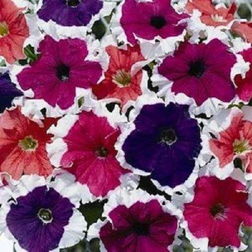 petunia-ice-mix-colours-bedding-plants-12-garden-ready-plants