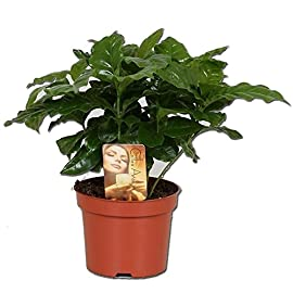 """Coffee Arabica Grow Your Own Coffee"" Plant in 12 cm Pot"