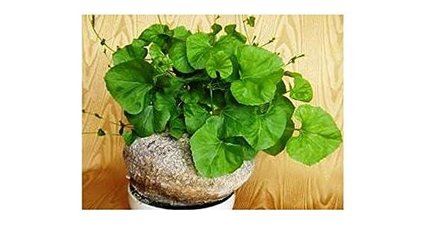 10 graines Kedrostis africana Plante à caudex
