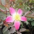 Wildrose Rosa glauca Hechtrose, rotblättrig von Weber-Rosen bei Du und dein Garten