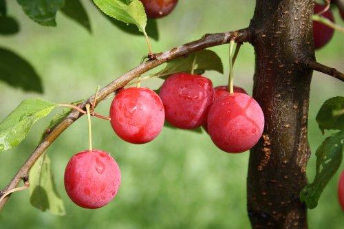 Pflaumenbaum, Milanka, Prunus cerasifera, Obstbaum winterhart, Pflaume rot gelb, im Topf, 120 - 150