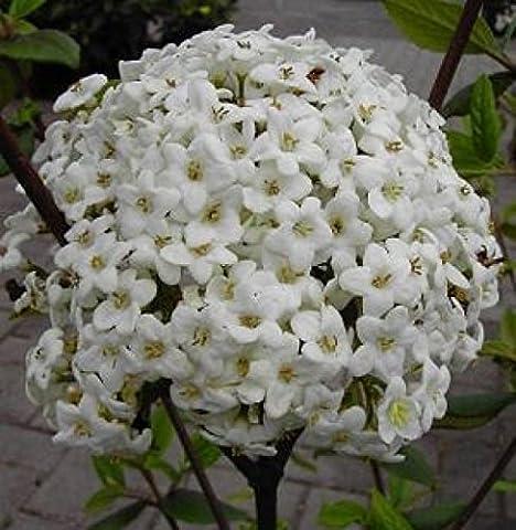 Oster-Schneeball - Viburnum x burkwoodii - immergrün, süsslich duftend - 40-60 cm
