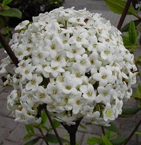 oster-schneeball-viburnum-x-burkwoodii-immergrun-susslich-duftend-40-60-cm