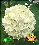 BALDUR-Garten Echter Gefüllter Schneeball, 1 Pflanze Viburnum opulus 'Roseum'